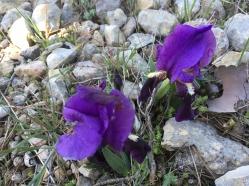 a really short iris