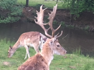 A fine stag