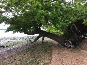 Nacton Shore; cliff erosion causing trees to fall onto the beach