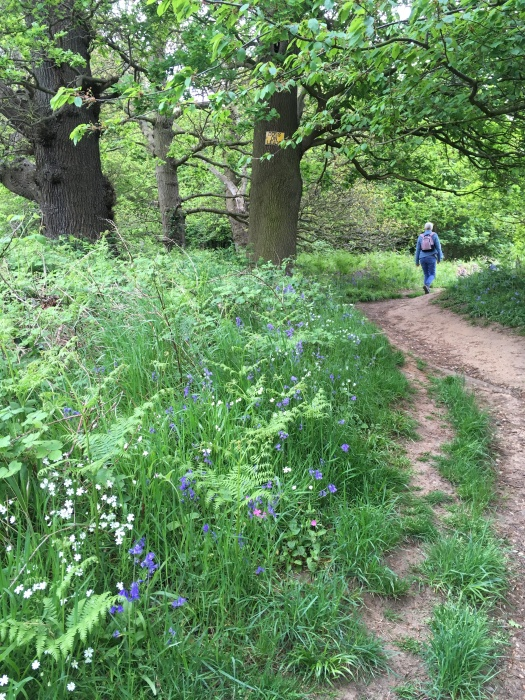 Bluebell woods path at Nacton Shore