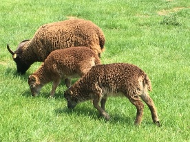 Soay sheep grazing at the site; the closest to original Bronze Age sheep