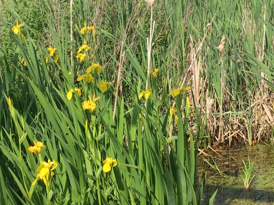 Flag Iris, these beautiful flowers are dotted around the site