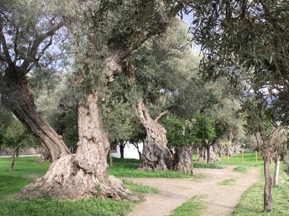 Órgiva, Ruta de Olivos Centinarios
