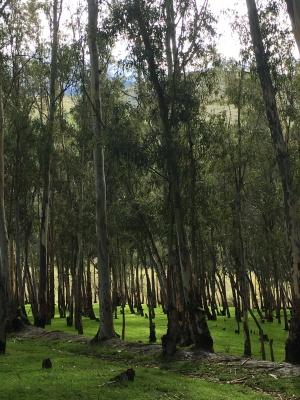 Eucalyptus grove, Órgiva