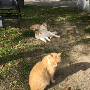 Órgiva cats, the ginger family