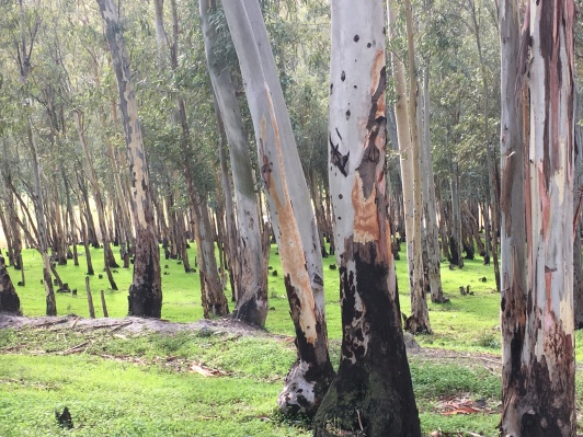 Eucalyptus grave, Órgiva